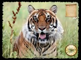 Big Cats Screensaver screenshot