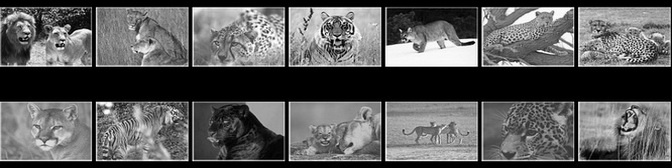 The Big Cats Screensaver